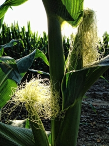 Cornsilk is the pale fronds which grow around the corn and go brown on drying.